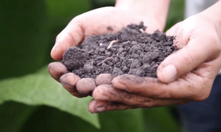 Tobacco Soil
