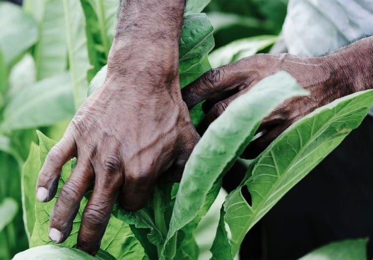 Tobacco-leaf-plant